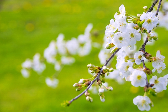 marvelous-flowering-cherry-1366109_960_720